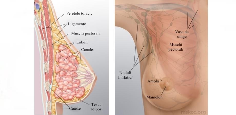 anatomia sanilor