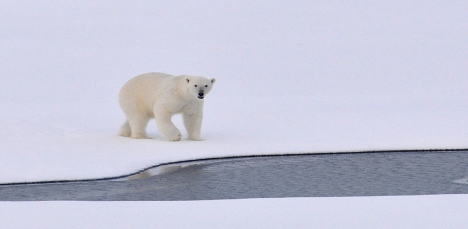 animalele polare_ursul polar