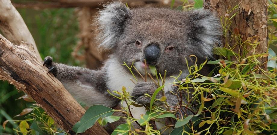 ursii koala